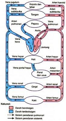 Sistem serkulasi darah