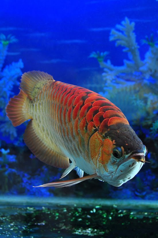 photograph 39 s and wallpaper arowana the red dragon fish