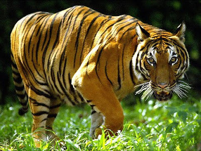 China's last tiger is eaten