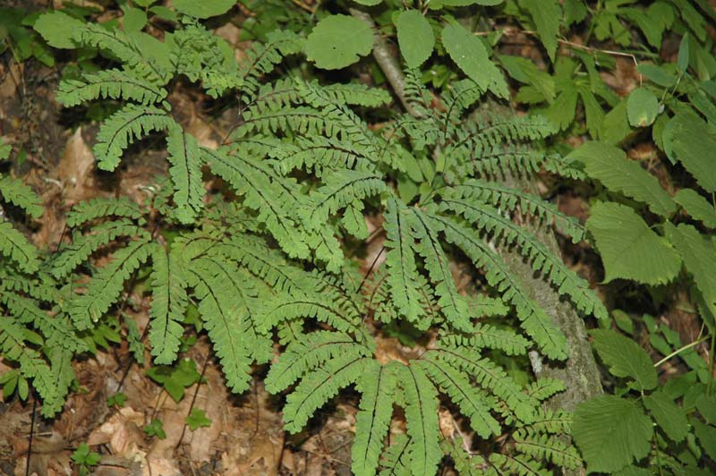 this delicate species is one of the easiest to recognize in our forest the maidenhair fern adiantum pedatum look for fronds spreading in a - Fern Types