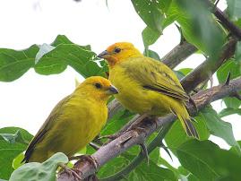 Bienvenido al muestrario de aves registradas en Panamá