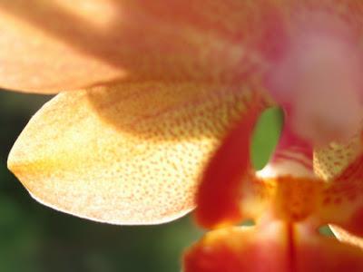 Orchidée phalaenopsis 003 - Leuze-en-Hainaut - Belgique - Anne-Sarine Limpens - 2008