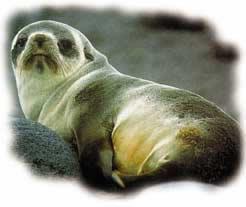binatang lainnya, anjing laut juga diberi Allah ciri-ciri khas yang ...