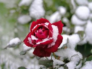 Chrismas snow rose picture