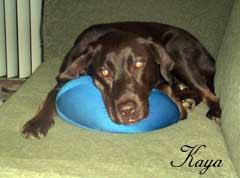 Kaya: 3 year old chocolate Labrador
