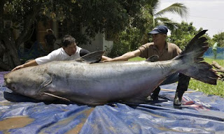 pescados gigantes