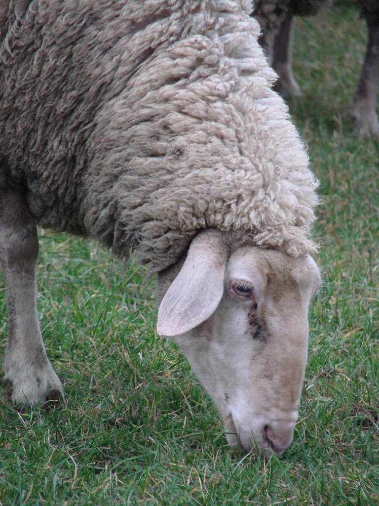 is a female sheep  or ewe