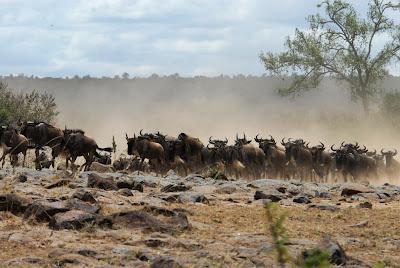 græsædere i kenya