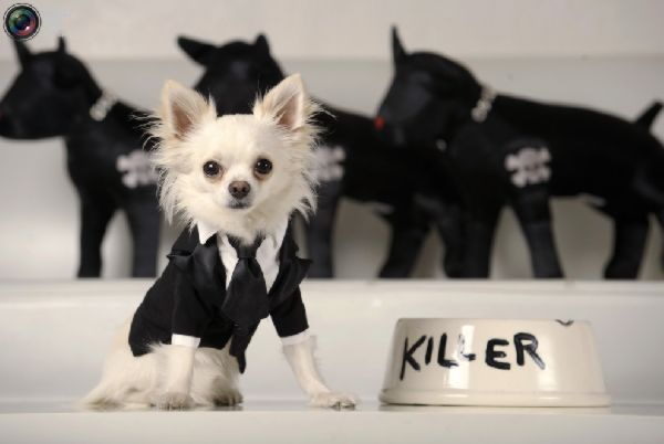 Killer Chihuahua Dogs