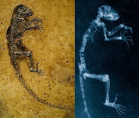ida fossil