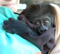 baby gorilla injured