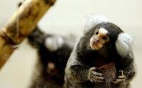 monkey scent