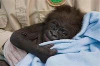 frank gorilla