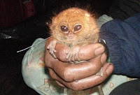 pygmy tarsier