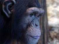 chimp illness