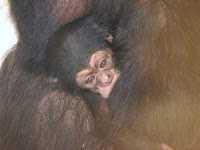 mojo chimp born