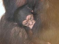 mojo chimp born