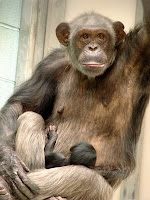 dallas chimp born