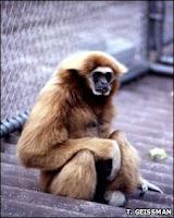 singing gibbon