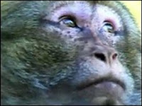 barbary monkeys escape