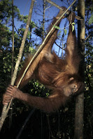 orangutan swinging