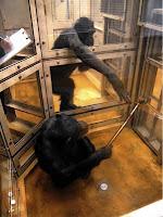 chimp study help