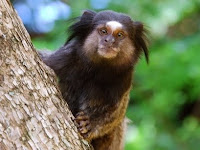 black tufted monkey