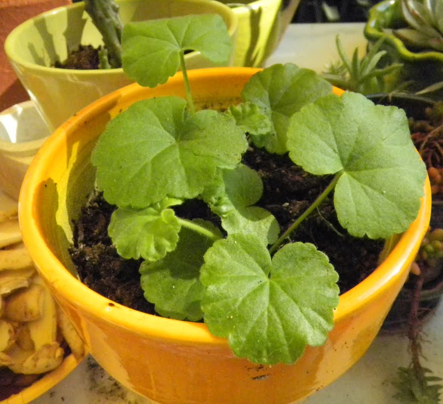 Merula micans graines de geranium - Graine de geranium ...