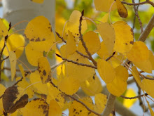 Colorado Aspens Upclose