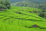 ricefied view exotic in jatiluwih bali