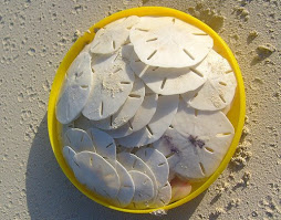 The Sand Dollars we found