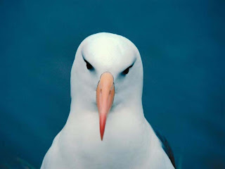 Gambar burung putih