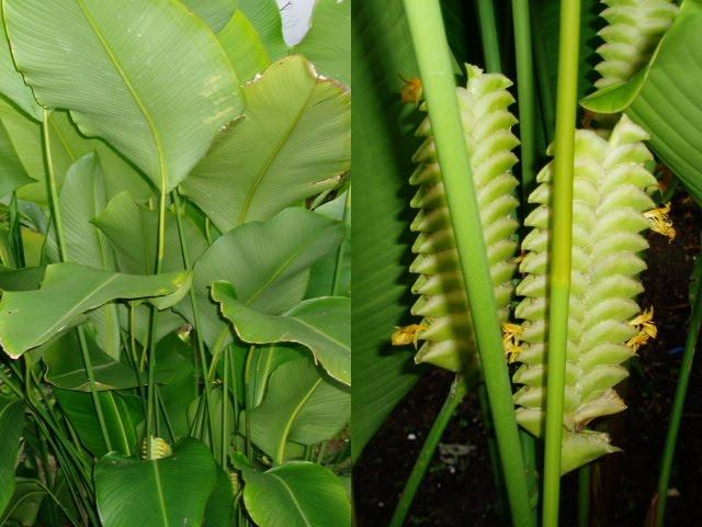 Landscape plants for sale calathea crotalifera rattle Calathea plants for sale