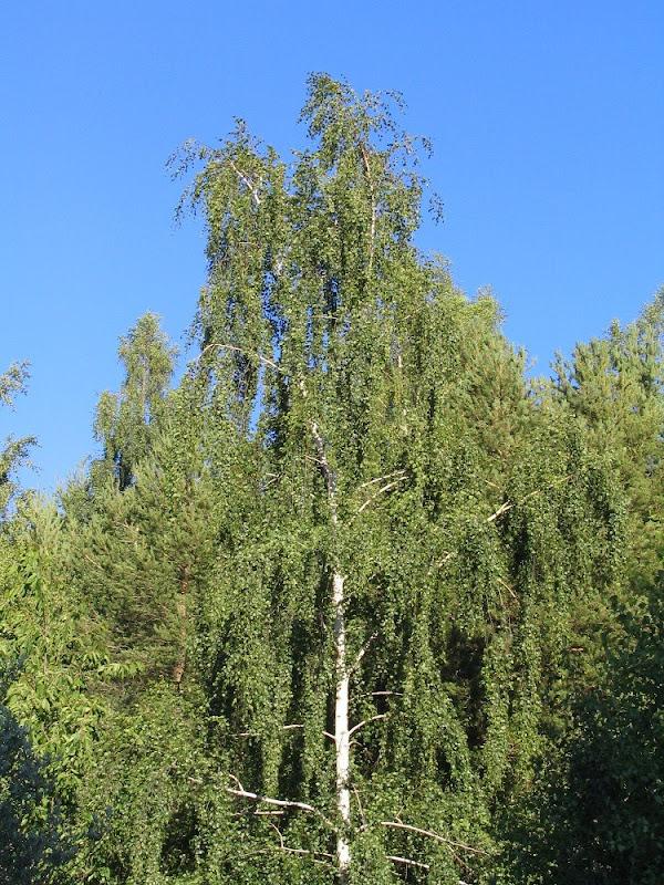 Arboles de europa abedul comun betula pendula for Arbol comun