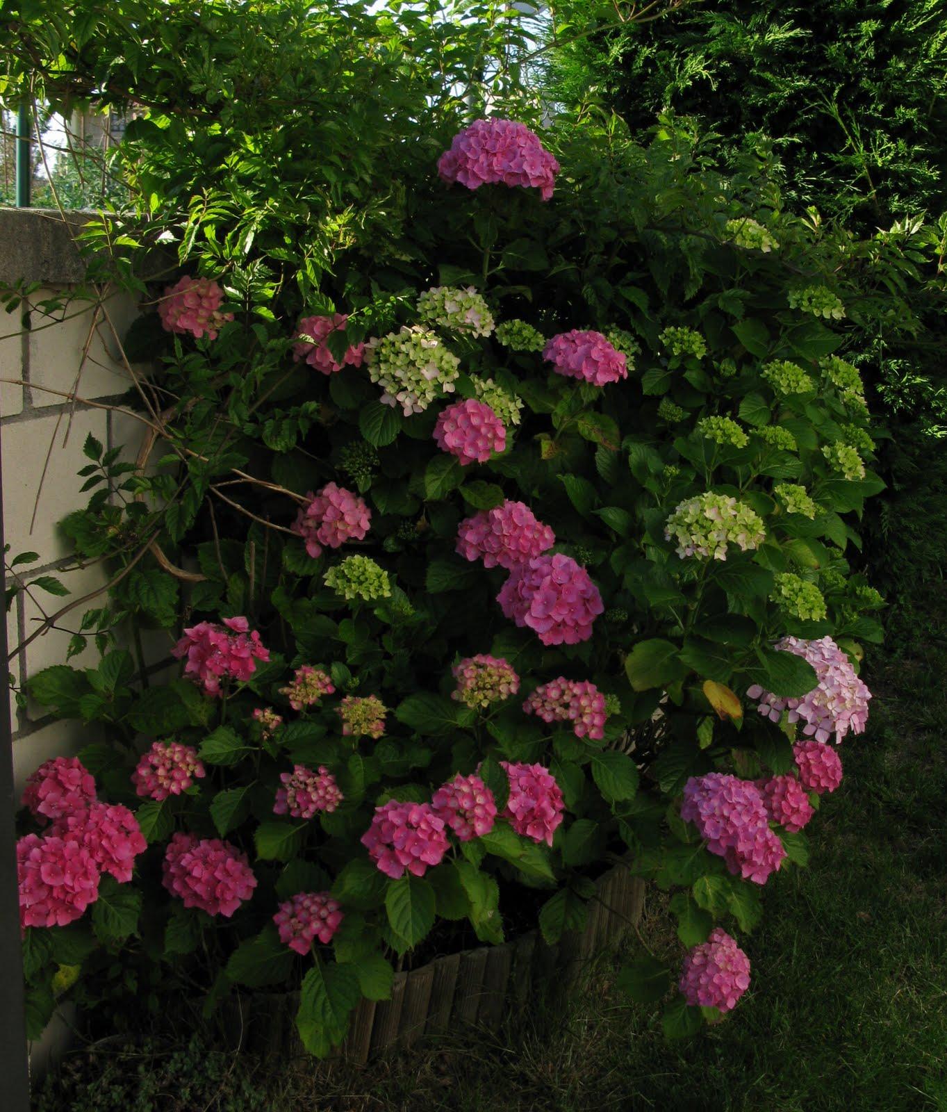 En tu jard n las hortensias del norte - Poda de hortensias epoca ...