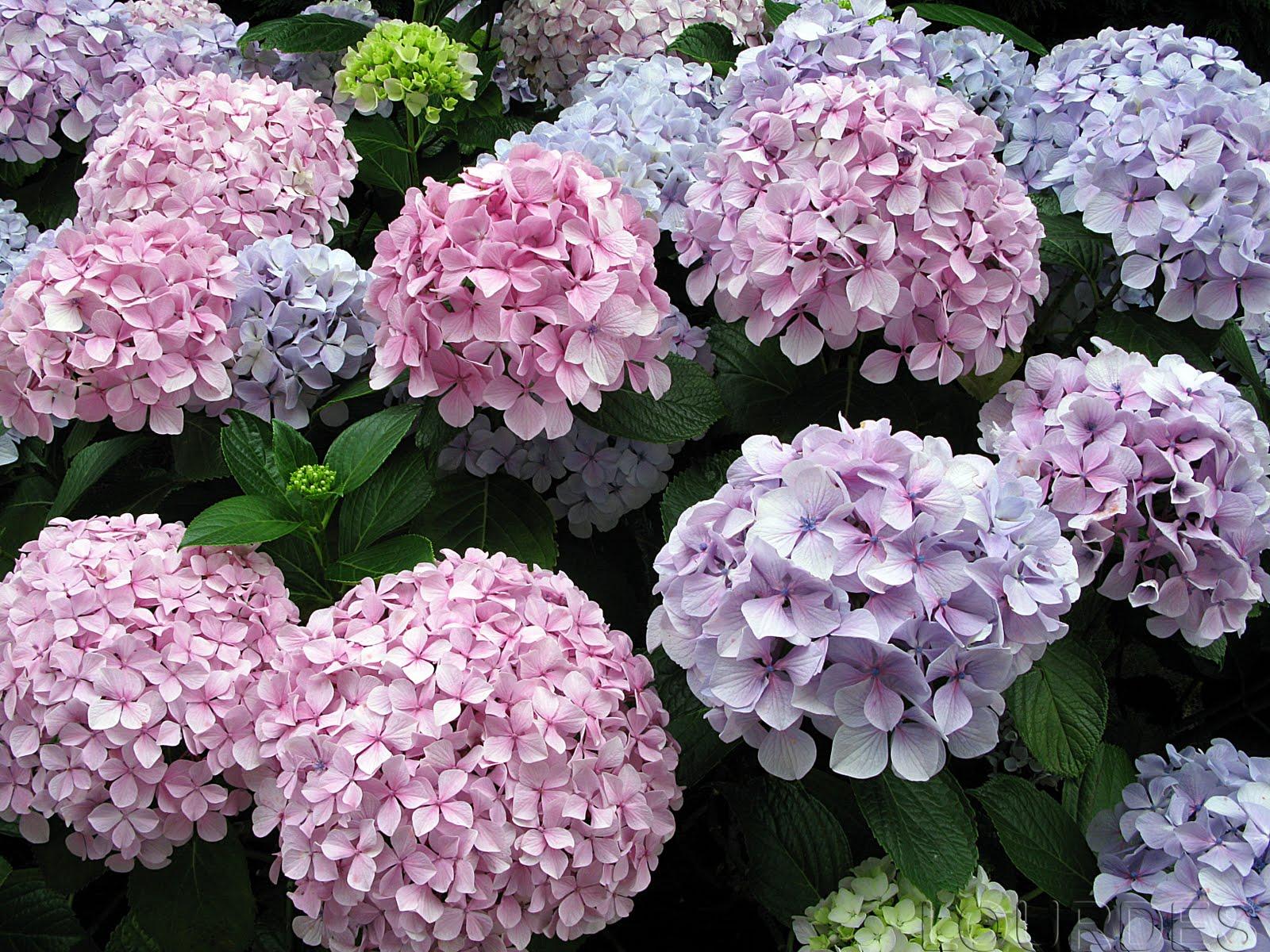 En tu jard n las hortensias del norte - Cuidados de las hortensias ...