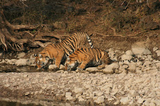 Tigress and cub sighted at Ranthambhore National Park in Jan 2009