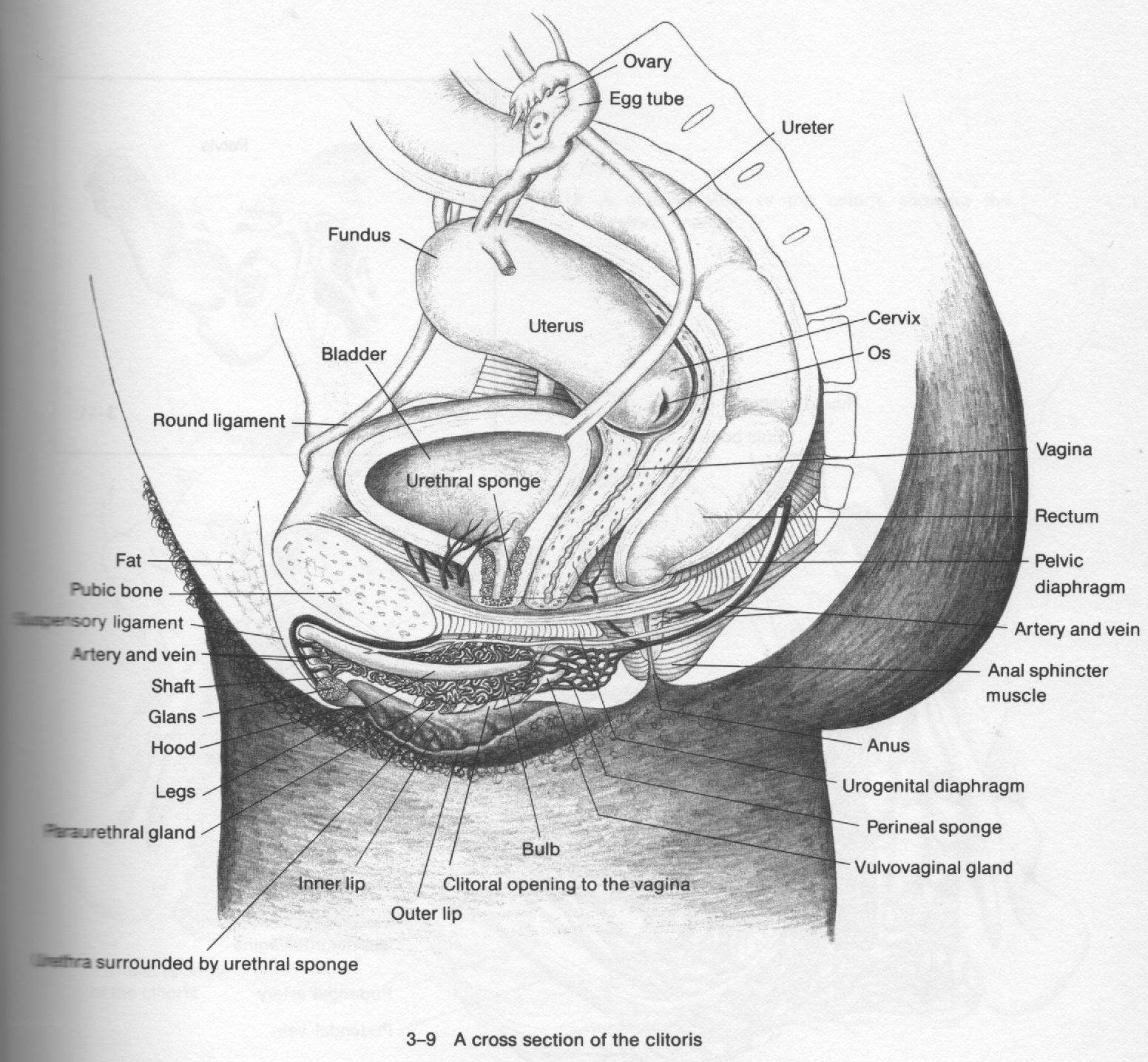The anal sphincter muscle , the circular muscle which closes the anus ...
