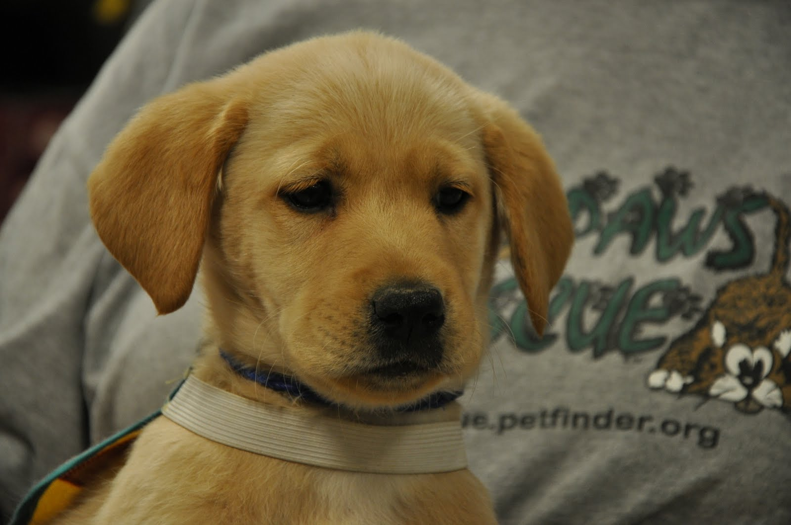 Labrador Retriever Pitbull Mix Puppies Retreiver/yellow lab mix