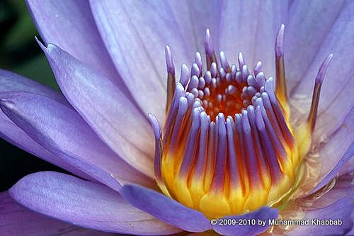 waterlily lotus lahore