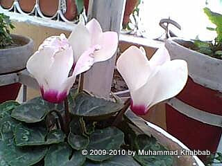 cyclamen bulb