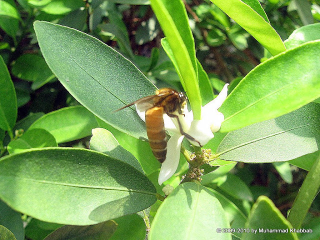 bee on lemon flower