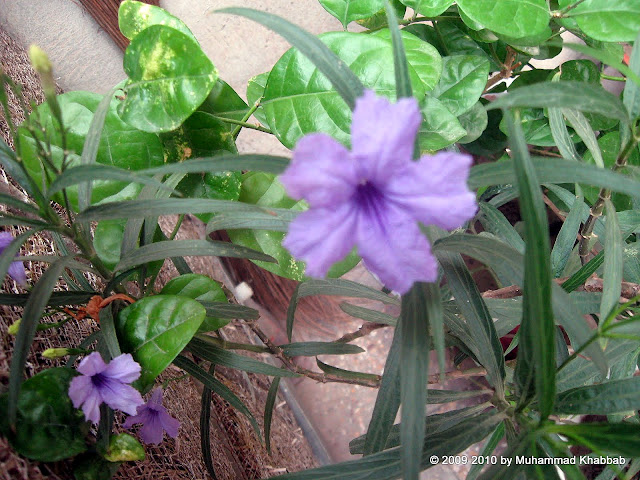 barleria cristata lahore