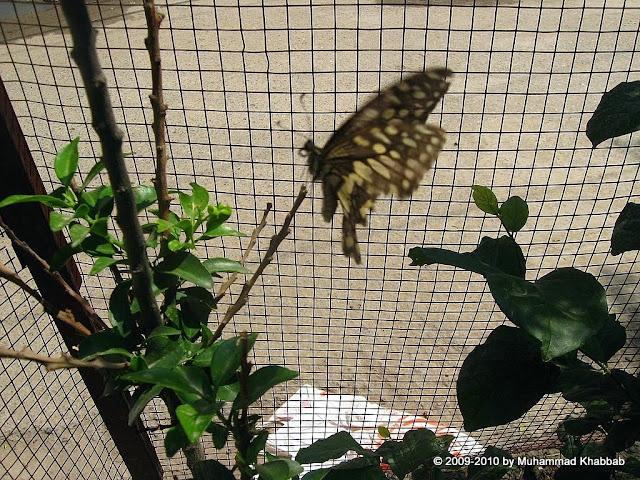 butterfly on lemon tree