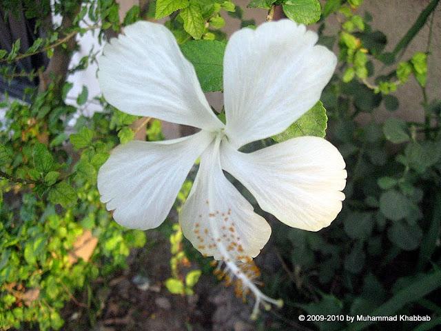 white hibiscus lahore
