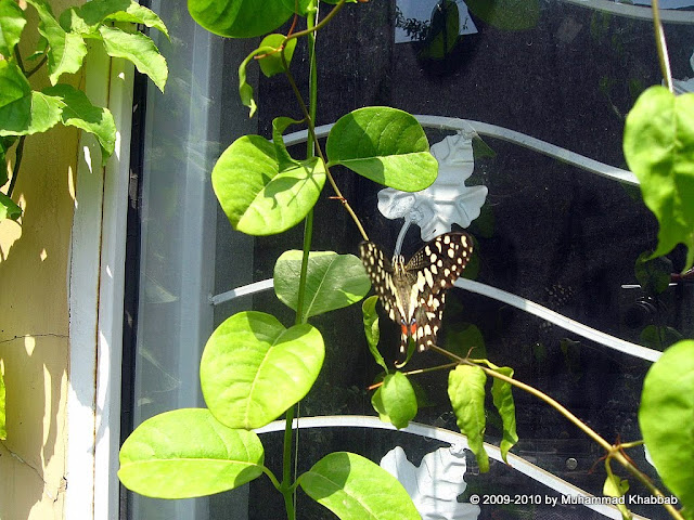 butterfly on allamanda golden trumpet