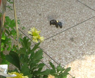 carpenter bee lahore pakistan