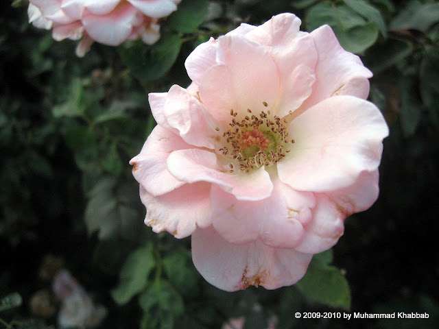 rose ghulab