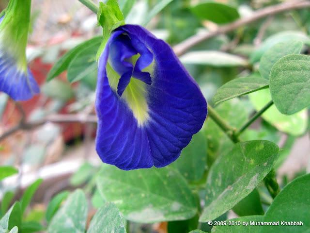 Clitorea Ternatea neelofar butterfly pea