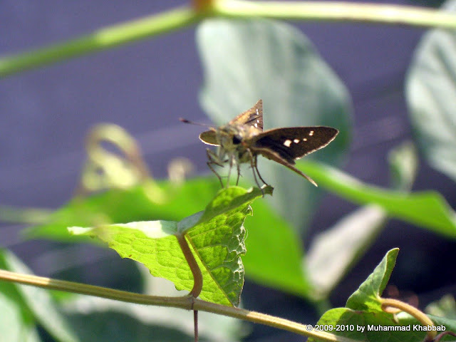 common lime butterfly lahore
